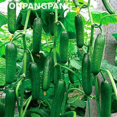 - 200 Pcs Cucumber Seeds Extremely Early Japanese Variety For Open Soil Growing Seeds Vegetables Home Garden Bonsai Plants Flowers -   jetcube