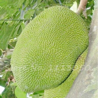 - 10 Pcs Fresh Jackfruit Seeds Tropical Giant Novel Tree Seeds Rare Miracle Fruit Seeds Garden Decor Bonsai Plants Free Shipping - 1  jetcube