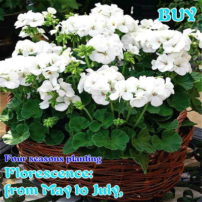 - 100Pcs/bag Geranium Seeds Of Flowers Perennial Indoor Pelargonium Bonsai Plant Garden Flowers Seeds For Balcony Flower Seed 2017 - Army Green  jetcube
