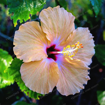 - 100 Pcs/Bag Hibiscus Flower Seeds Giant Hibiscus Seed Bonsai Flower Seeds Outdoor Plant Seeds For Home Garden Easy To Grow - 17  jetcube