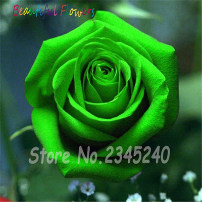 - 120PCS Flower Seed Holland Rose Seed Lover Gift Orange Green Rainbow RARE 23 Color To Choose DIY Home Gardening Flower - 18  jetcube
