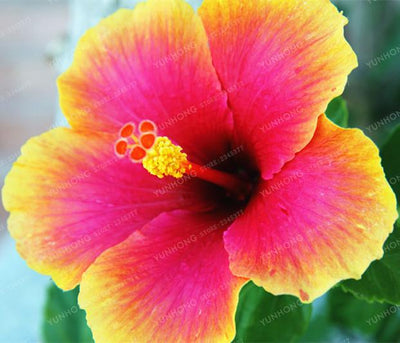 - 100 Pcs/Bag Hibiscus Flower Seeds Giant Hibiscus Seed Bonsai Flower Seeds Outdoor Plant Seeds For Home Garden Easy To Grow - 1  jetcube