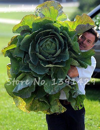 - 100 pcs/bag Giant Cabbage Seeds, Rare Russian Cabbage Seeds, Organic, Non-GMO Vegetable Seeds for Home & Garden - 16  jetcube