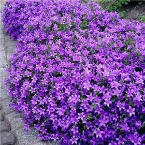 - 200 Creeping Thyme Seeds Flower Seeds ROCK CRESS GROUND COVER Seeds Carpet Evergreen Plant Easy to Grow for Garden Lawn - 9  jetcube