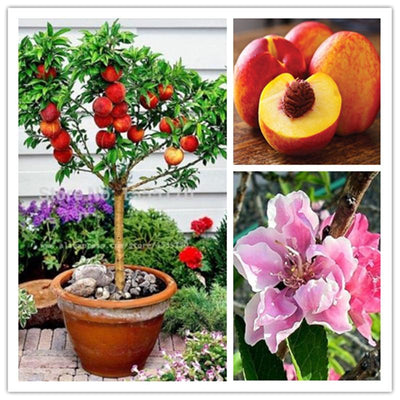 - 10 pcs sweet peach seeds,Peach Tree seeds,Dwarf bonanza peaches,bonsai Fruit seeds for home garden plants - Default Title  jetcube