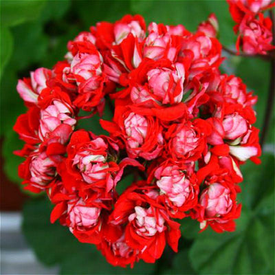 - 100Pcs/bag Geranium Seeds Of Flowers Perennial Indoor Pelargonium Bonsai Plant Garden Flowers Seeds For Balcony Flower Seed 2017 - Light Green  jetcube