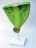 Model of Leaf Structure