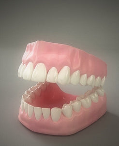 Model of Human Teeth with Jaw