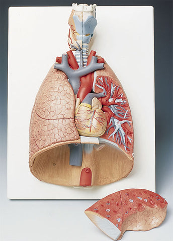 Model of Human Lungs