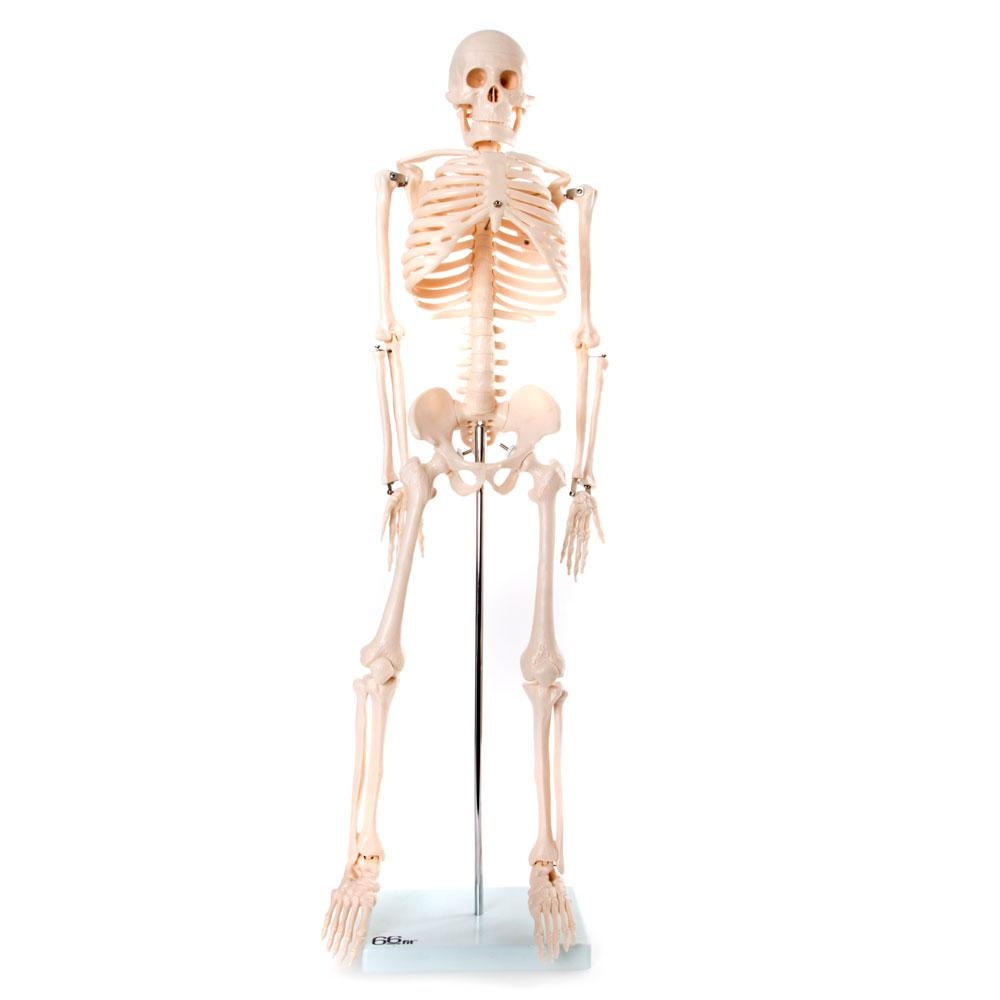 66fit Medium Anatomical Skeleton Model - 85cm