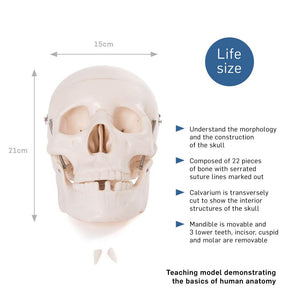 66fit Life Size Human Skull Anatomical Model