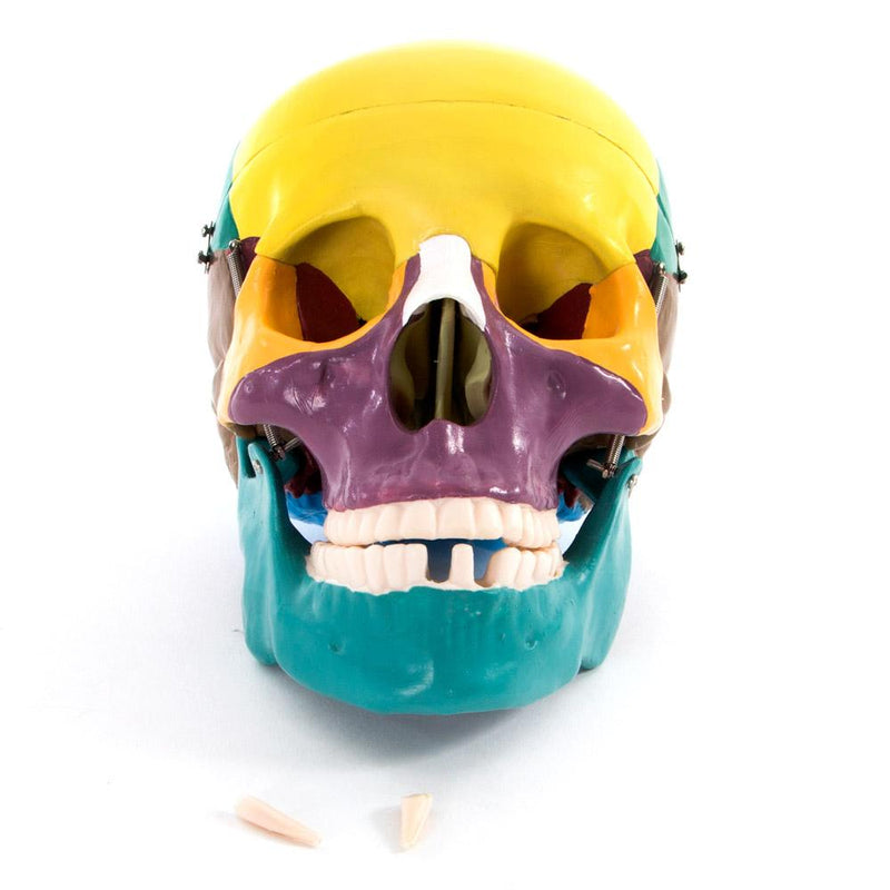 66fit Life Size Human Skull Anatomical Model - Painted Bones
