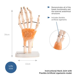 66fit Human Hand Joint With Ligaments Anatomical Model