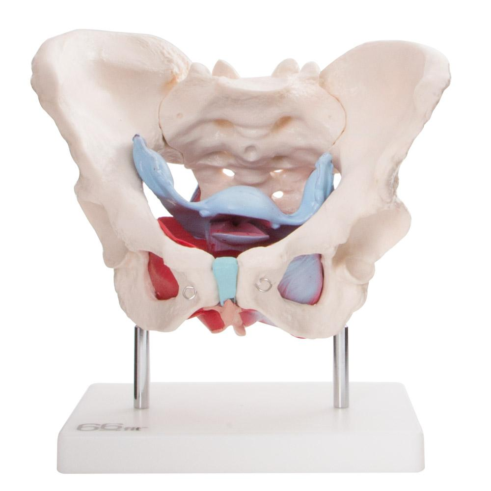 66fit Female Pelvic Muscles & Organ Anatomical Model