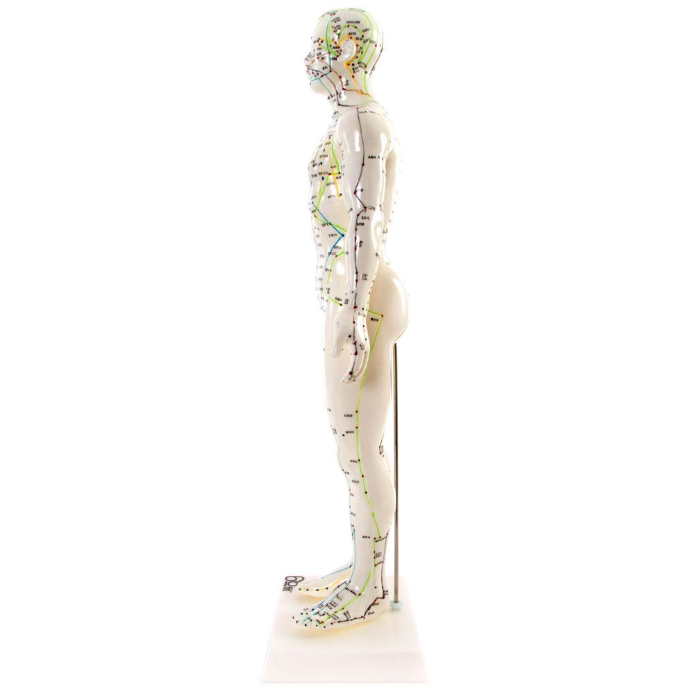 66fit Male Acupuncture Model - 50cm