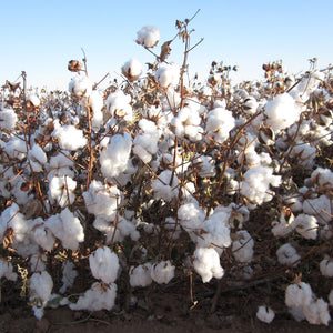 American organic cotton plant from West Texas Organic Growers Co-op.