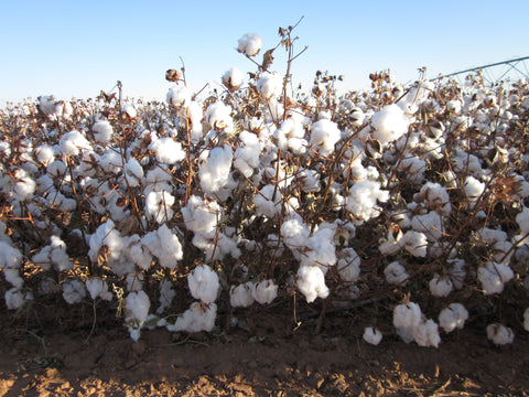 Sustainable organic cotton boll ripe and ready for harvesting.