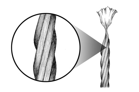 Illustration of American single ply organic cotton fibers after our process that softens, strengthens, and straightens all fibers and removes impurities.