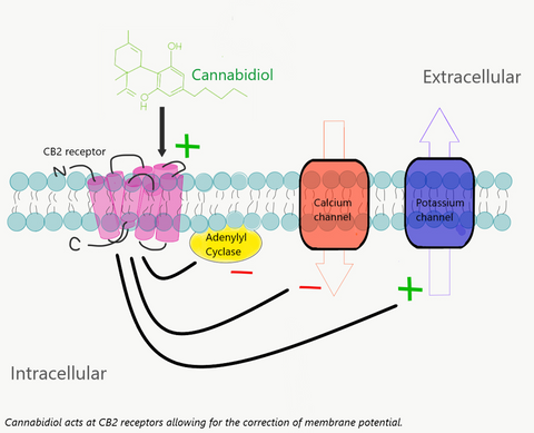Cannabidiol acting at CB2 receptor