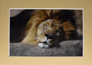 """Sleepy Head"" Male Lion Sleeping Animal Fine Art Photography 5x7 Matted Print"