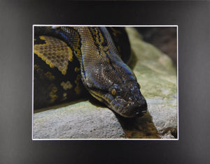 Large Python Hanging Out Snake Animal Fine Art Photography 11x14 Matted Print