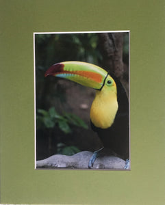 Picture of a Tucan  Animal PhotographyFine Art Photography Matted Picture 8x10