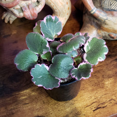 Strawberry Begonia Var.