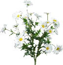Daisy Bush X5, 25H White