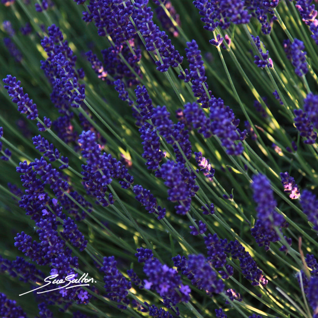 LAVENDER IMAGE 4 - Sue Salton Photo Art