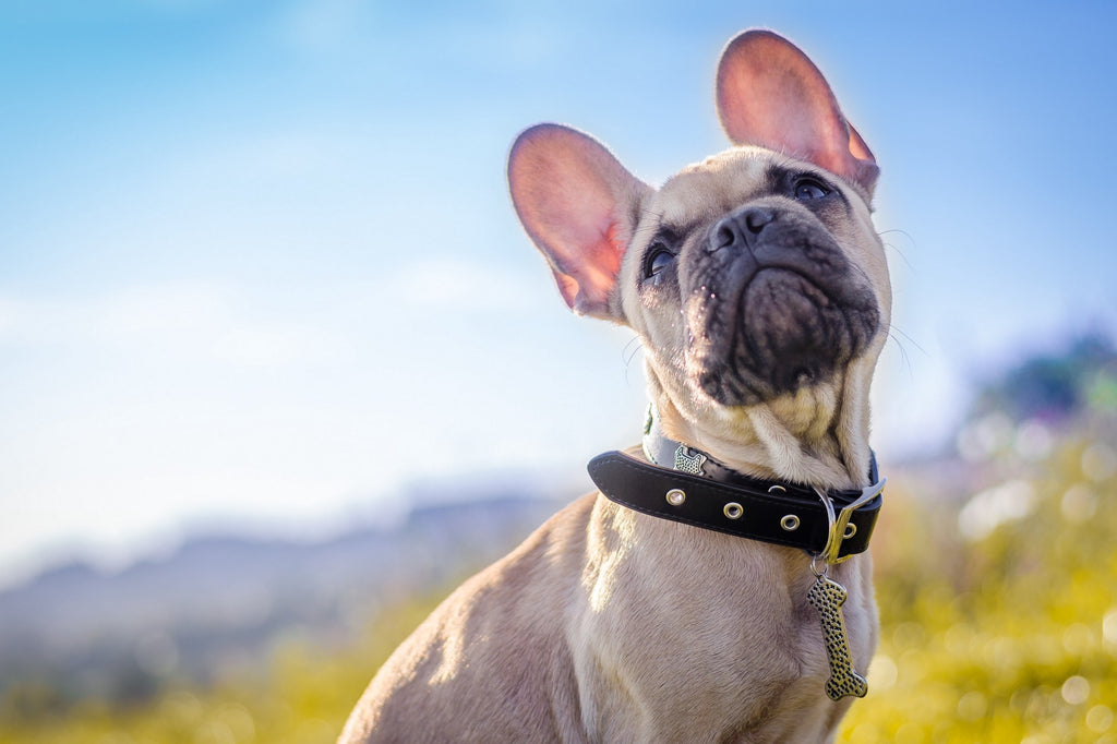 Why These Unique Dog Collars Are Worth It?