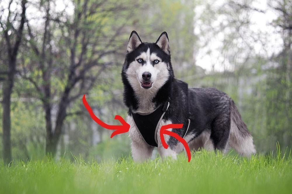 What is the Best Harness for a Husky that Pulls?