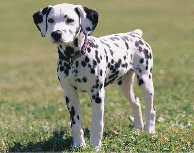 Pongo dog name