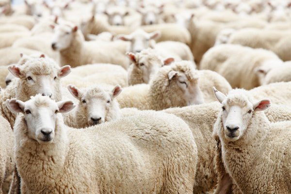 Who is our BFF? - Australian Merino Wool.