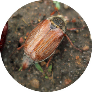 Nematodes for Chafer Bug-Chafer Bug Controls-ladybirdplantcare.co.uk