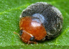 Load image into Gallery viewer, Mealybug Control-Mealybug Controls-ladybirdplantcare.co.uk