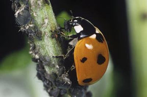 Ladybirds for Aphids-Aphid Controls-ladybirdplantcare.co.uk