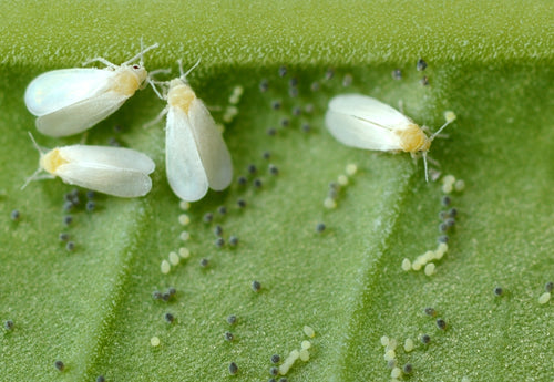 Whitefly Control - Encarsia-Whitefly Controls-ladybirdplantcare.co.uk