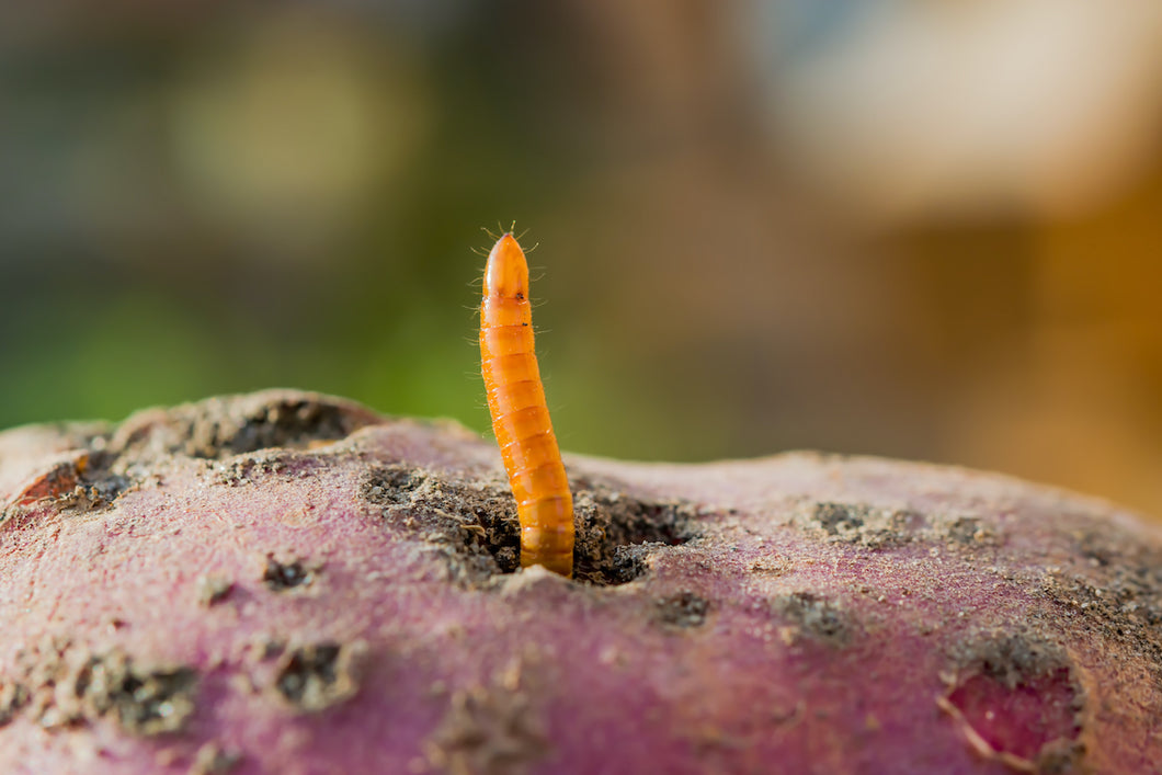 Wireworm Control-ladybirdplantcare.co.uk