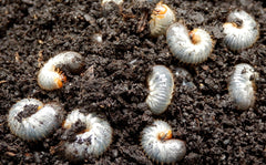 Nematodes for Chafer Bug