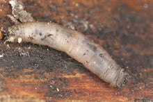 Load image into Gallery viewer, Leatherjacket Nematodes-Leatherjacket Controls-ladybirdplantcare.co.uk