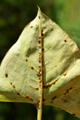 Scale Control Nematodes-ladybirdplantcare.co.uk