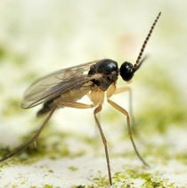 Products for Sciarid Fly