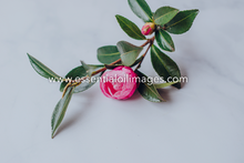 Load image into Gallery viewer, A Spotlight on Camellia