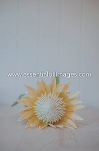 The Protea Flower Collection