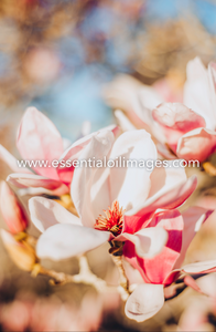 The Outdoor Magnolia Collection
