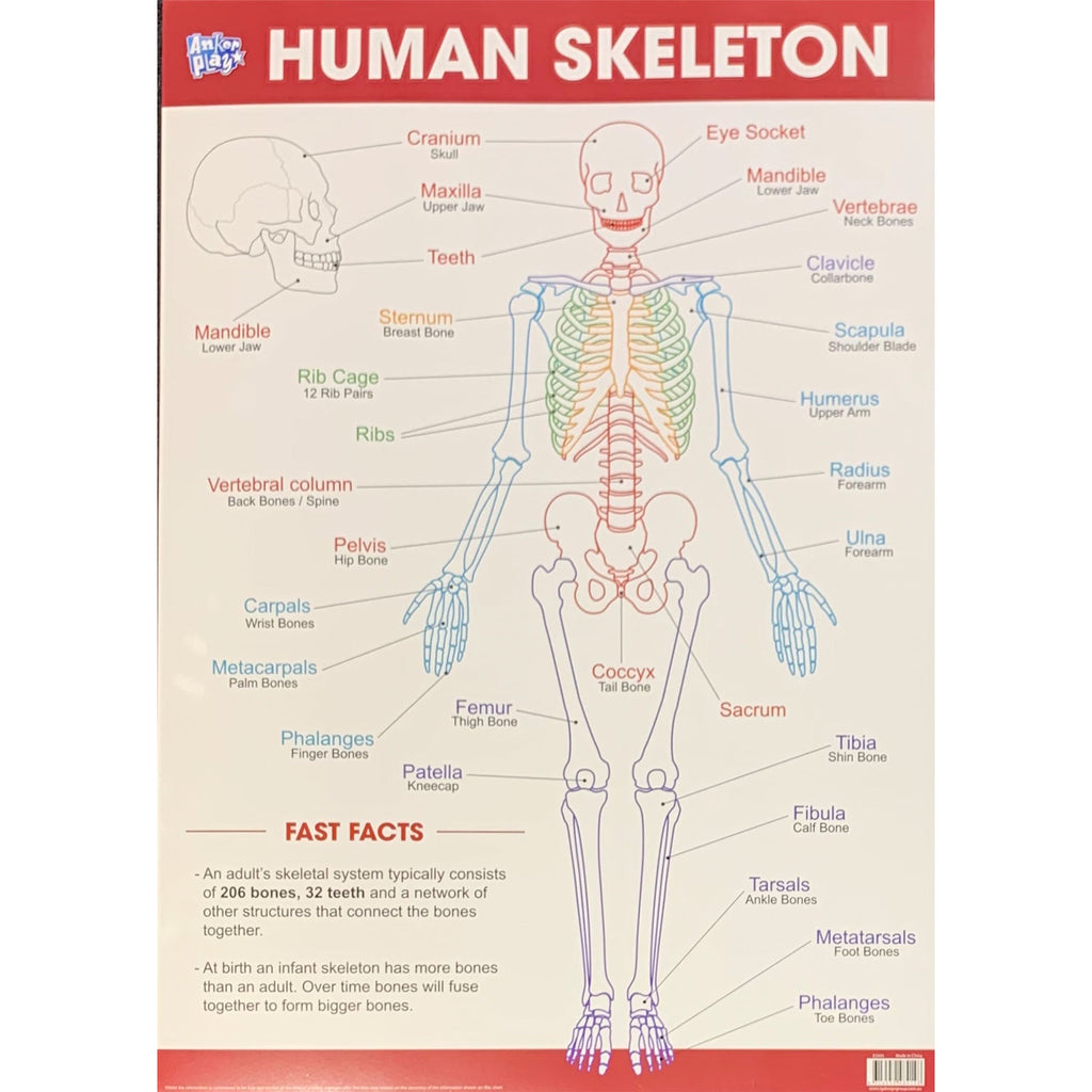 Anker Play | Educational Poster - Human Skeleton
