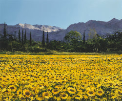 Sunflowers, Alpilles