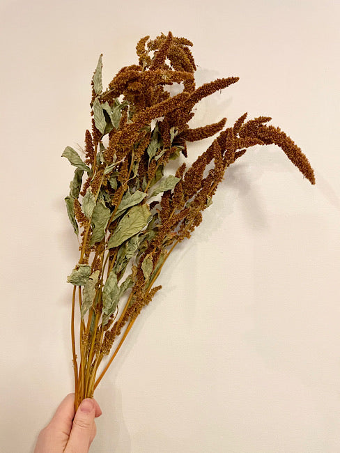 Dried Amaranthus Hot Biscuits Flower Bunch