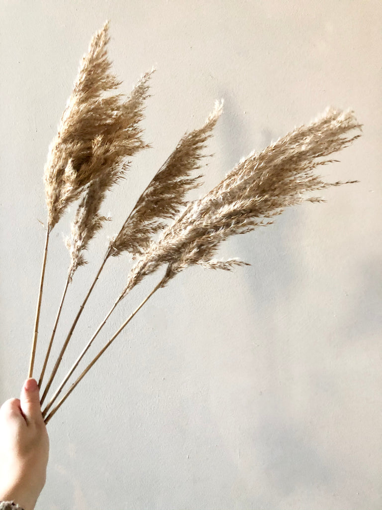 Dried Plume Grass Bunch