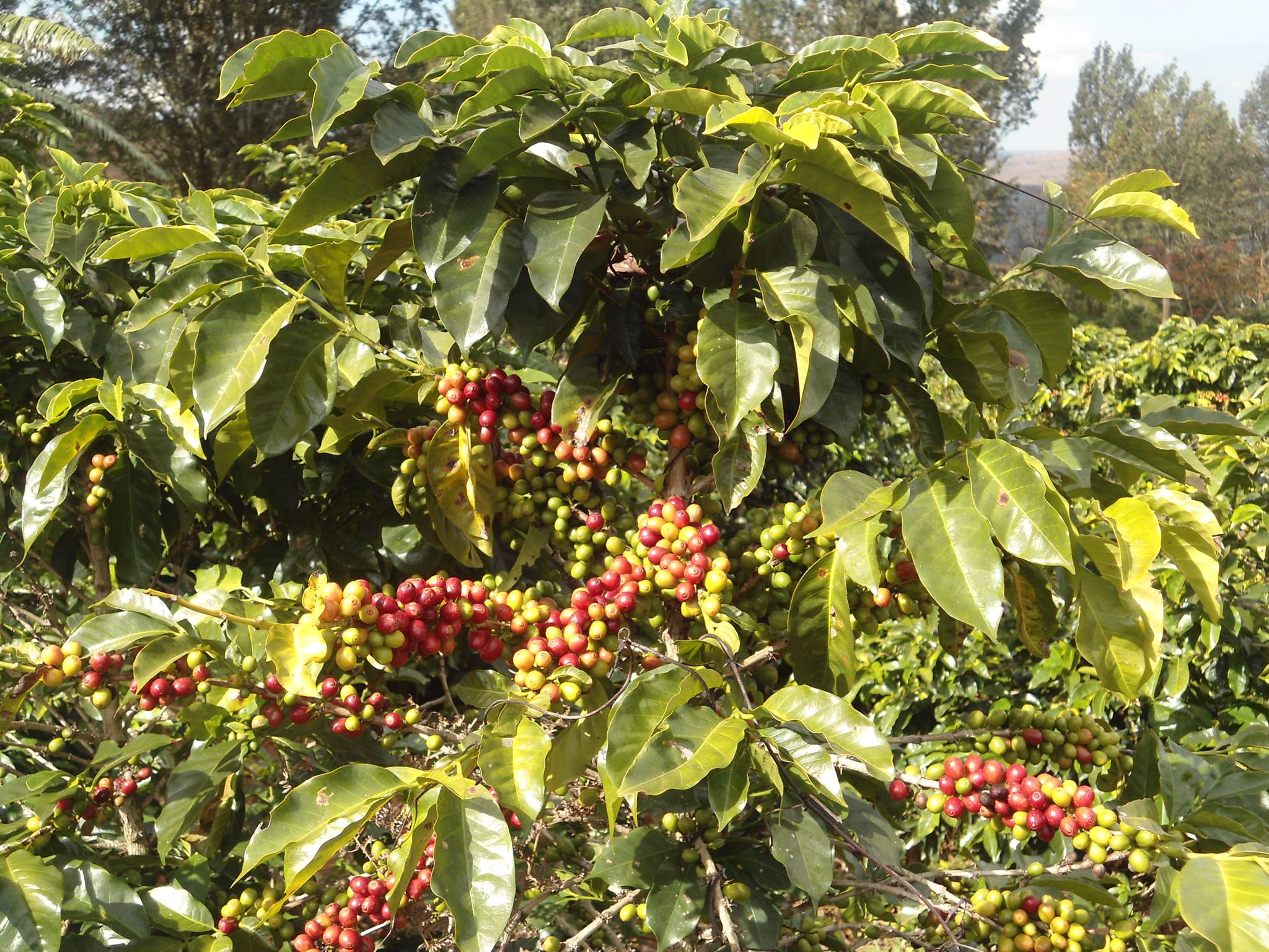 Mzuzu Coffee    bulk green beans for roasting